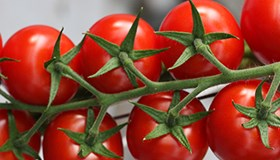 Greenhouse tomatoes on a vine